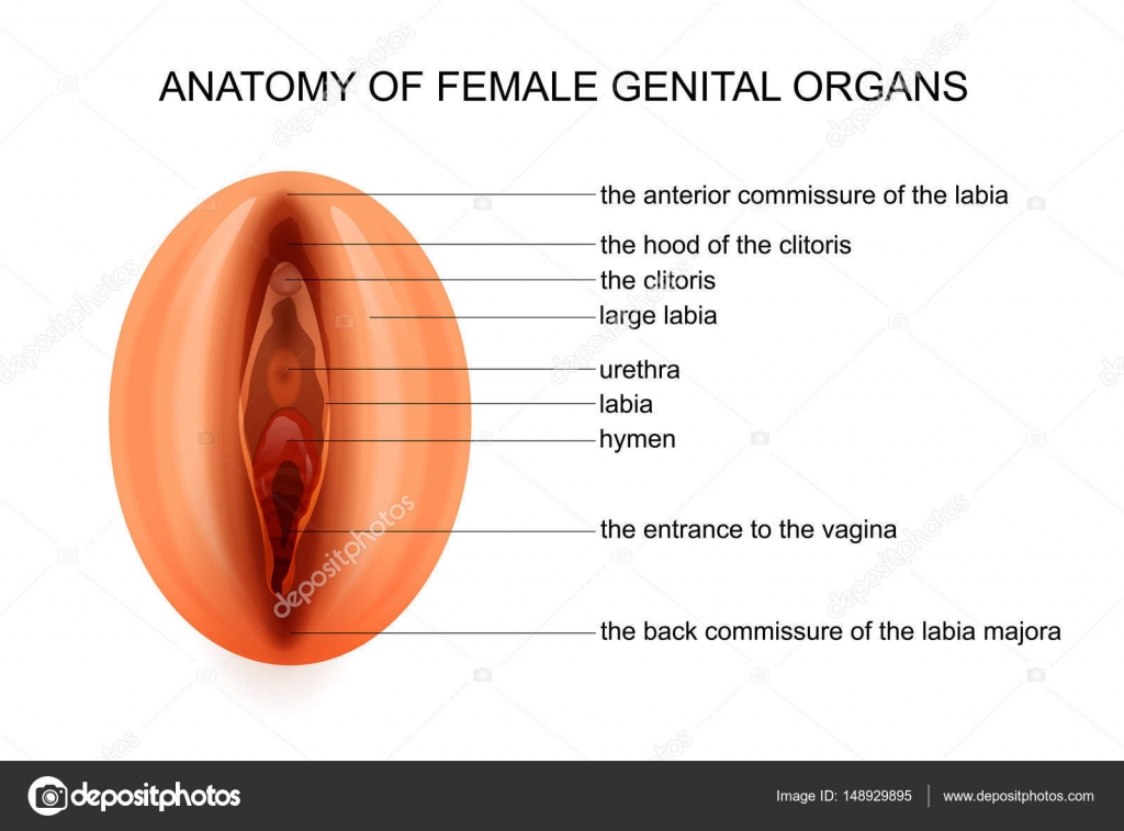 Anatomy Of Female Genital Organs Stock Vector Artemida Psy
