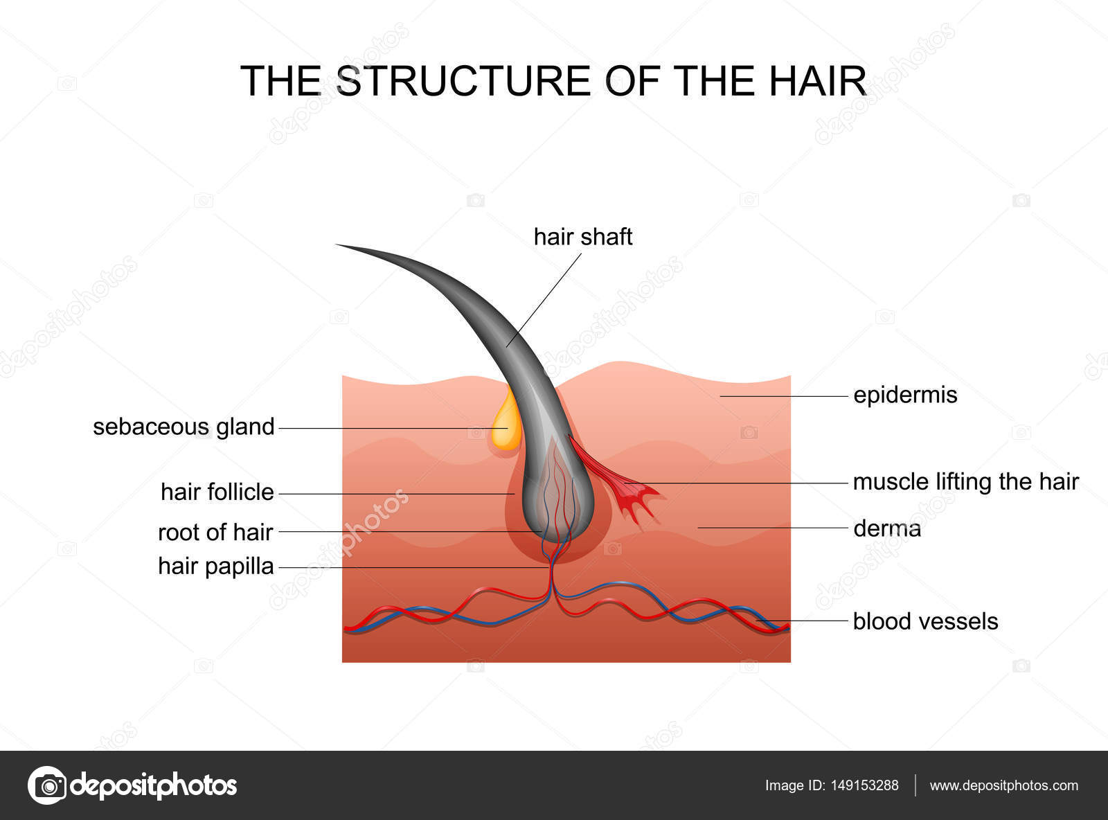 anatomy of hair — Stock Vector © Artemida-psy #149153288