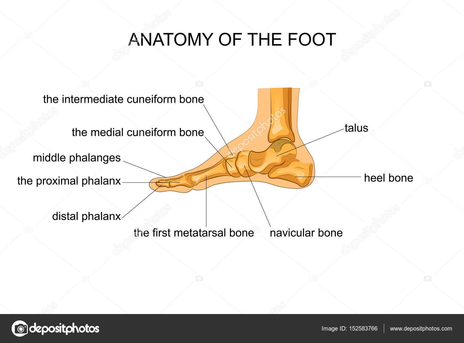 Anatomía de un esqueleto pie — Archivo Imágenes Vectoriales ...
