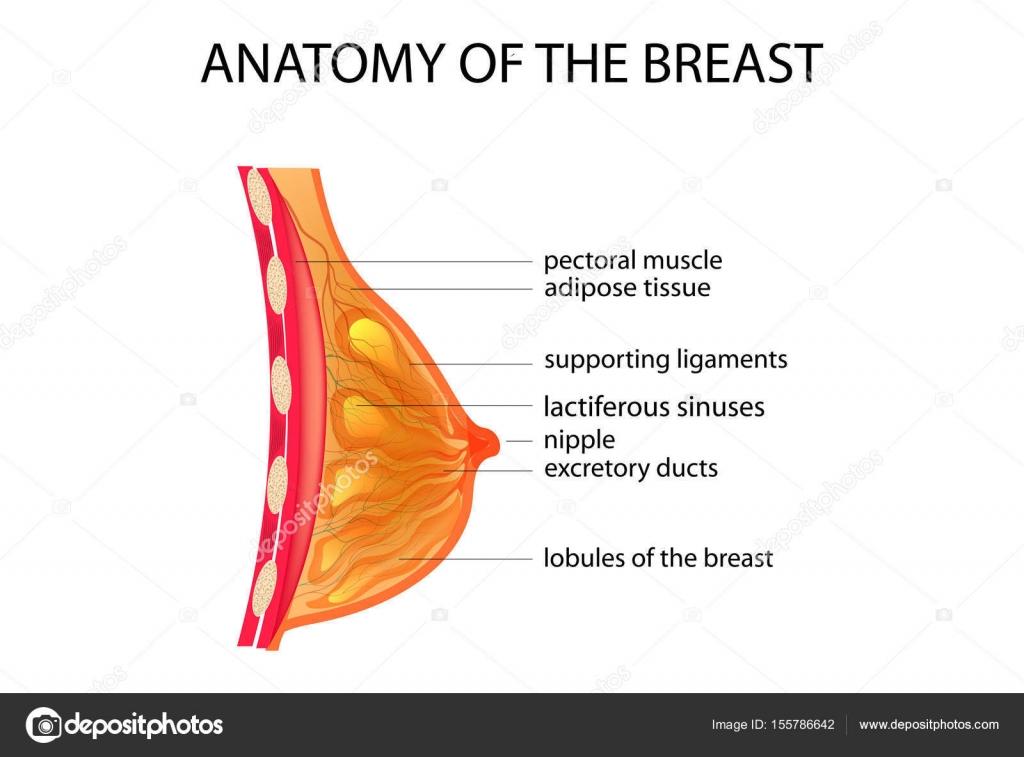 Anatomie der Brust — Stockvektor © Artemida-psy #155786642