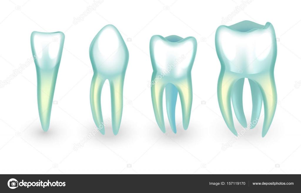 die menschlichen Zähnen. Schneidezahn, Eckzahn und molarsb ...