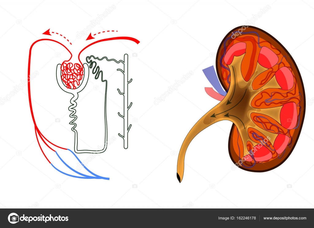 de nieren en het Nefron — Stockvector © Artemida-psy #162246178