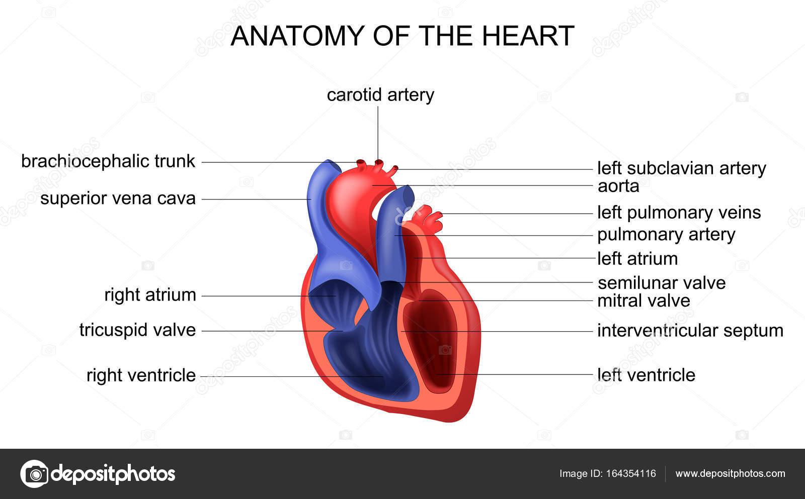 Anatomie des Herzens — Stockvektor © Artemida-psy #164354116