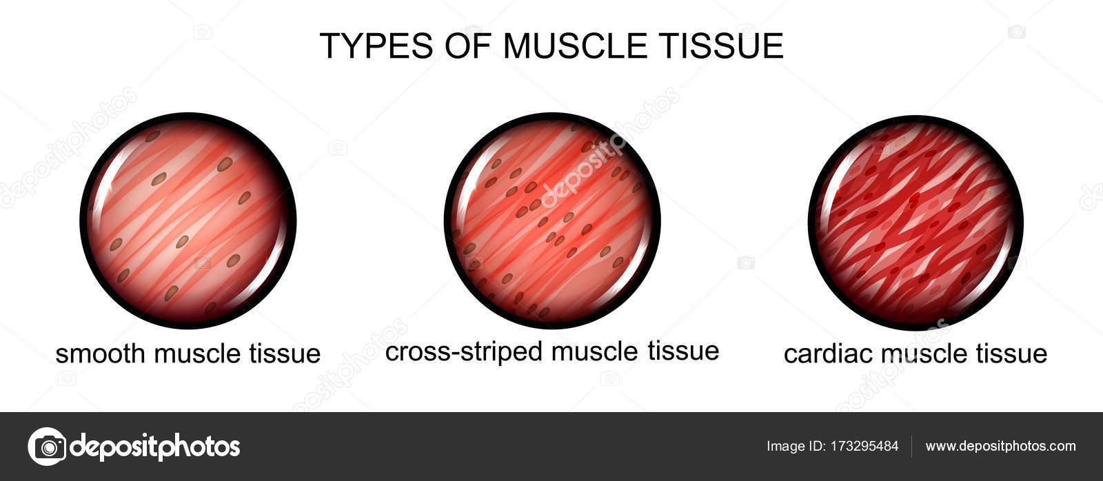 Arten von Muskelgewebe — Stockvektor © Artemida-psy #173295484