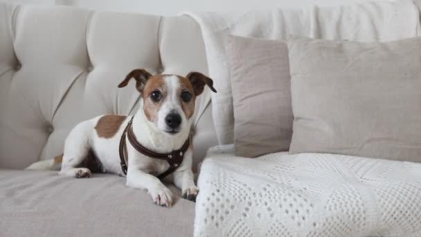 Malý pejsek na gauči