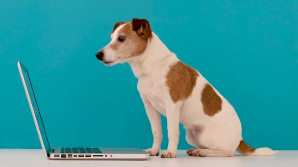 Cute dog works at computer looking at the screen