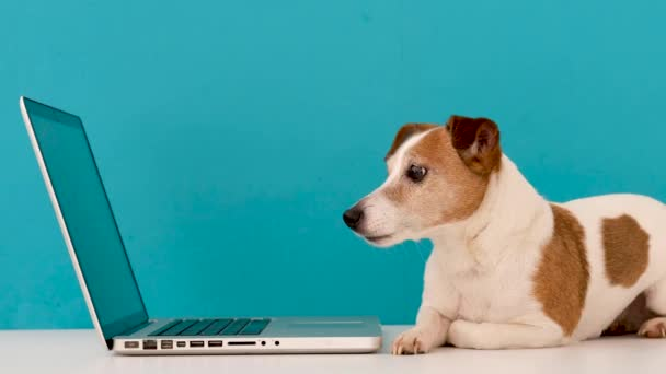 Dog looking at laptop with interest