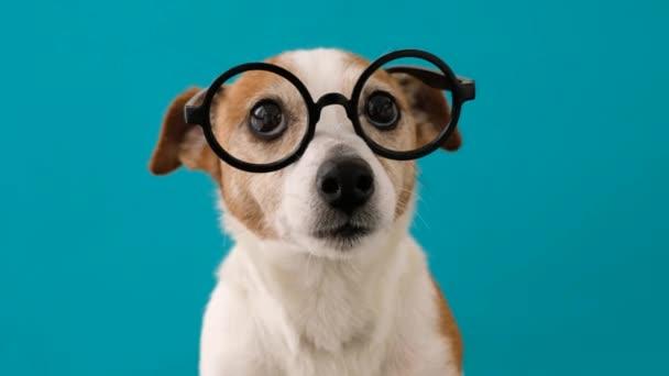 okos kutya szemüvegben nézi a kamera