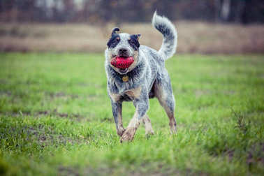 Australian cattle dog - dog training - playing dog - blue heeler