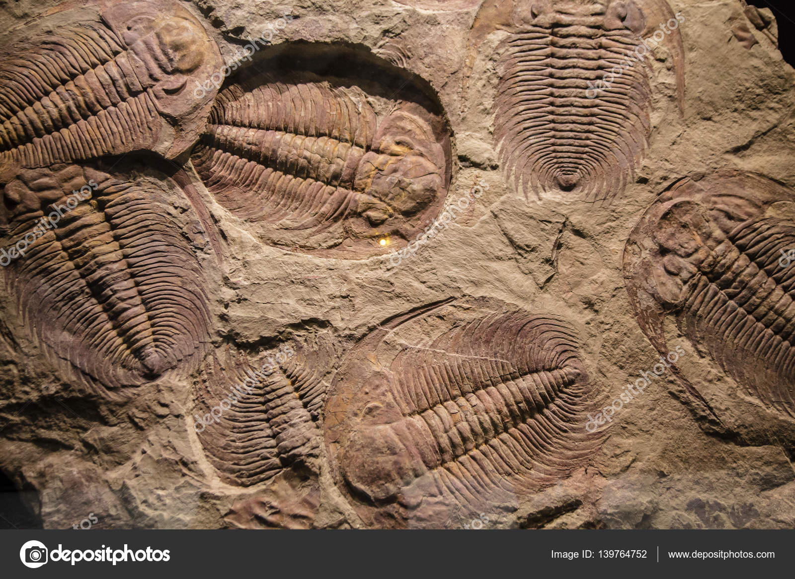 https://st3.depositphotos.com/5545264/13976/i/1600/depositphotos_139764752-stock-photo-fossil-trilobite-imprint-in-the.jpg