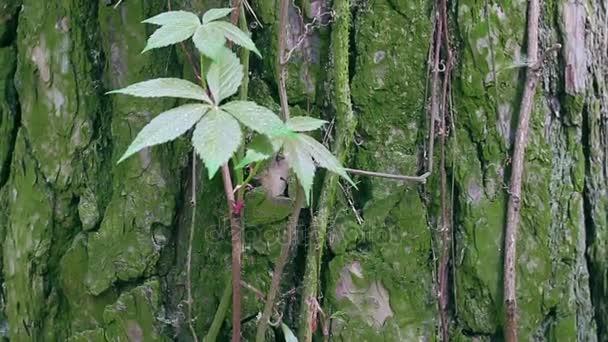 Liana selvatico contorto su un tronco dalbero in un primo piano della giungla.