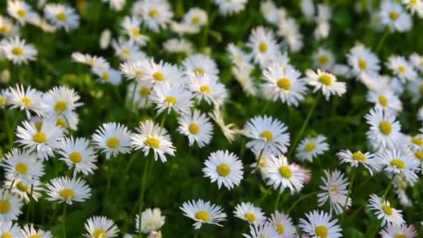atural pozadí svěží jarní kopretiny v trávě, třesoucí se ve větru