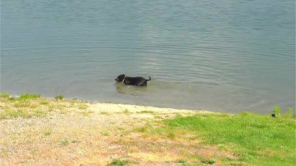 Happy Black - bílé Staffordshire Bull Terrier