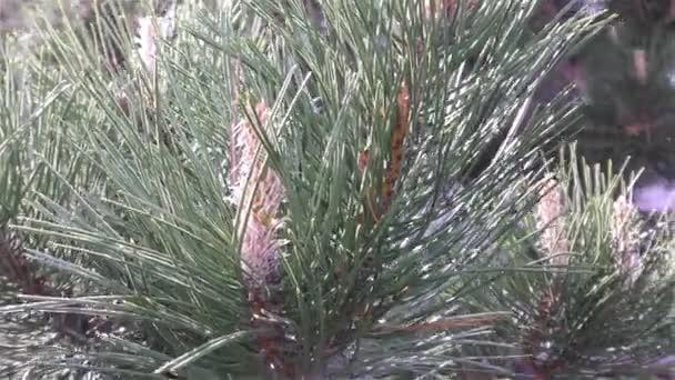 zelené borové větve, pohybující se ve větru