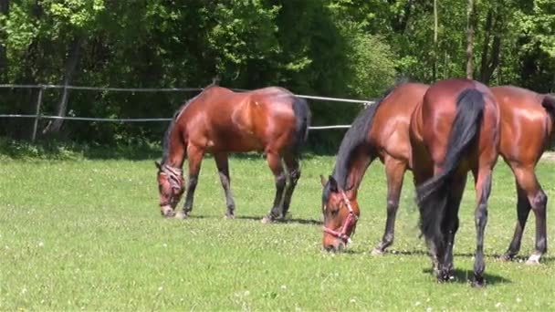 Horse Herd Grazing on Pasture