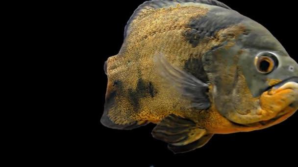 Oscar Tropical Fish | Amazon Tropical Fish Oscar Tigre Fondo Negro Videos De Stock