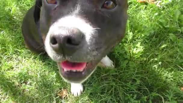 Happy Black - bílý Staffordshire Bull Terrier, Detail