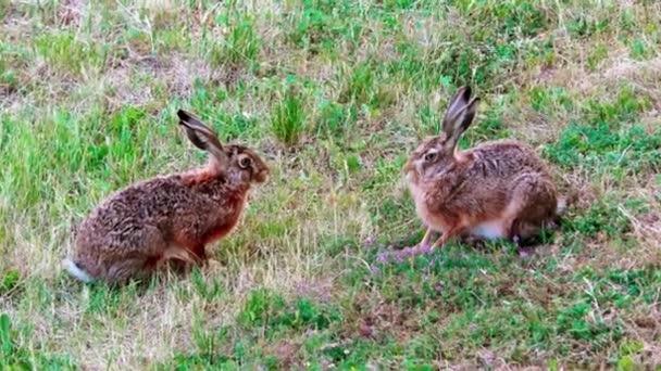 Wilde Hasen im Gras, Lepus Europaeus