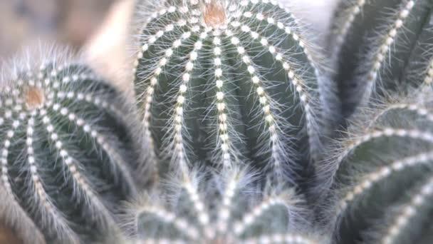 Kaktus, šťavnaté rostlinné video záběry