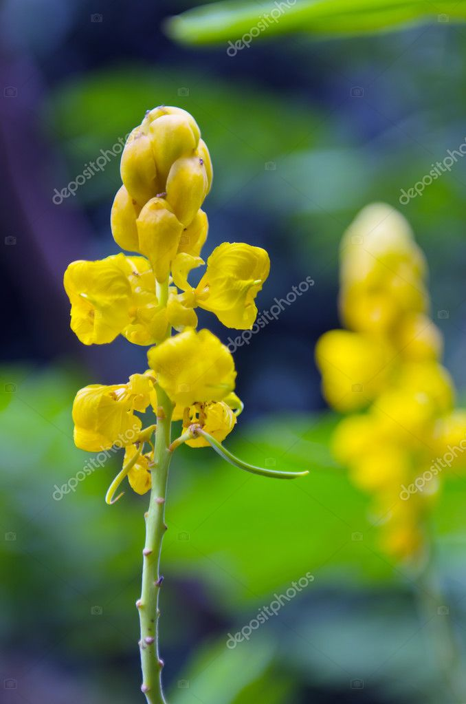 Yellow flower of ringworm bush or candle bush flower or candelab yellow flower of digestive herbs name ringworm bush also called as cassia alata acapulo candelabra bush candle bush candlestick senna christmas candle mightylinksfo