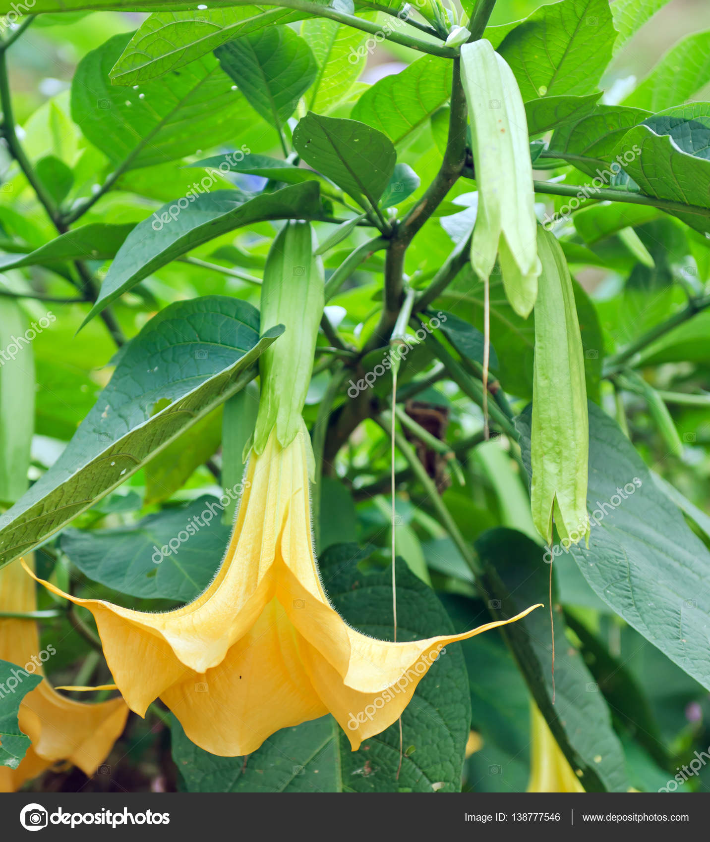 Yellow angel trumpet flowers on the tree stock photo suradechk yellow angel trumpet flowers on the tree stock photo mightylinksfo