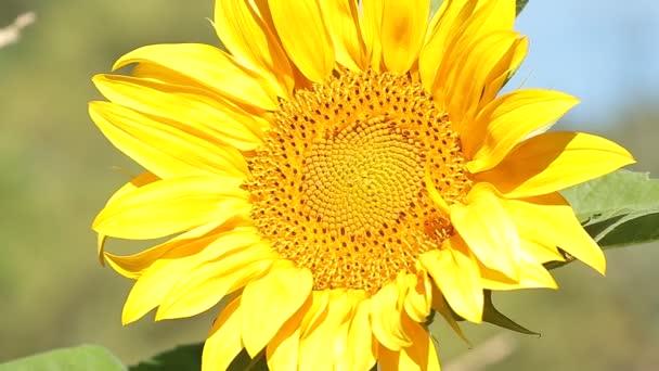 Makra slunečnice.