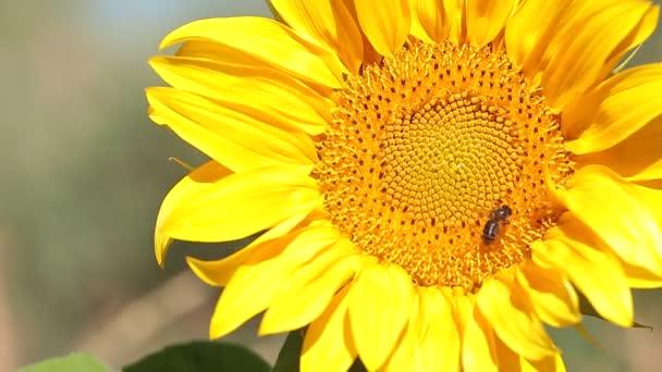 Méh, hogy nyugszik a napraforgó.