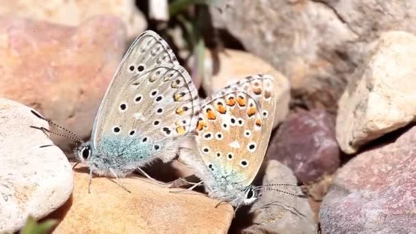 Několik běžných motýlů kopulující na jaře.