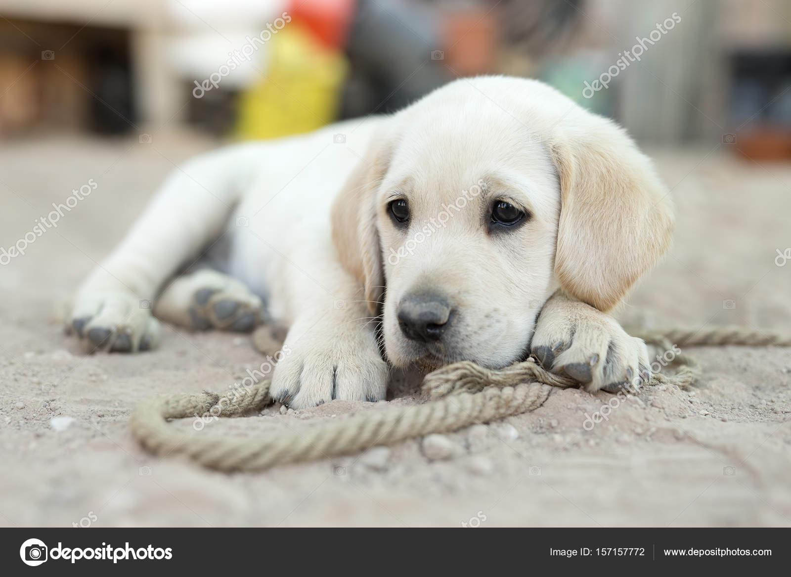 Portrait Of Small Golden Retriever Puppy Stock Photo C Francisgonsa 157157772