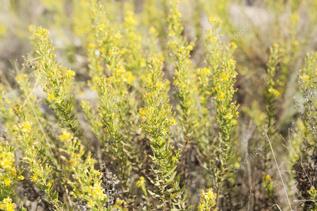 Wild plant with yellow flowers