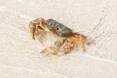 Crab at Tachai Island