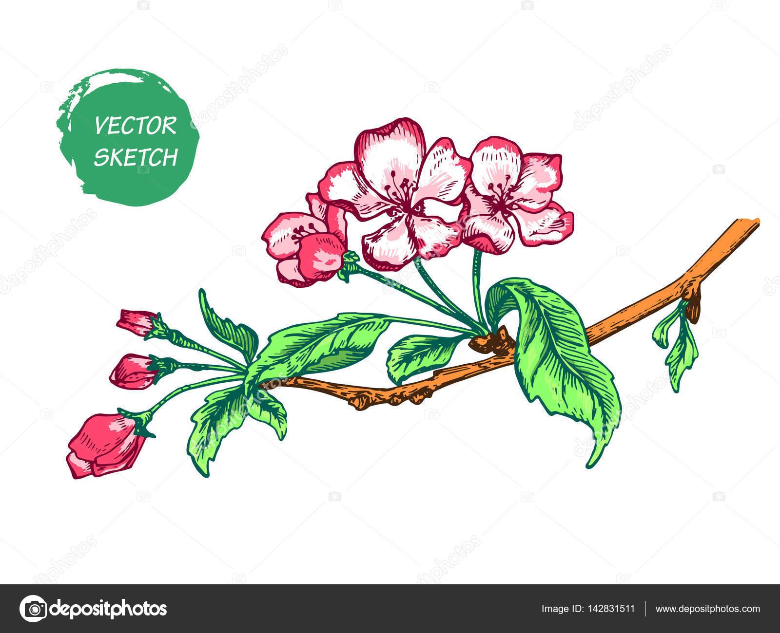 Imagenes La Primavera Para Dibujar A Color Dibujo De Appleflower