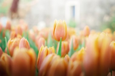 Orange tulip in the garden