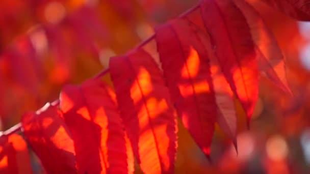 červené podzimní listy