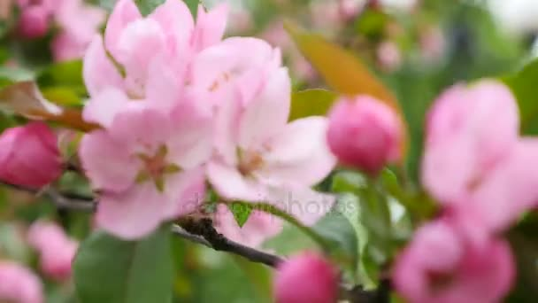 rózsaszín cseresznye virágok tavasszal virágzó