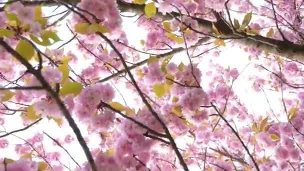 Sakura jarní květiny. Jarní květy pozadí. Krásné přírodní scéna s kvetoucí Sakura strom přes hory a sluneční erupce. Japonská zahrada. Slunečný den. Abstraktní rozmazané pozadí