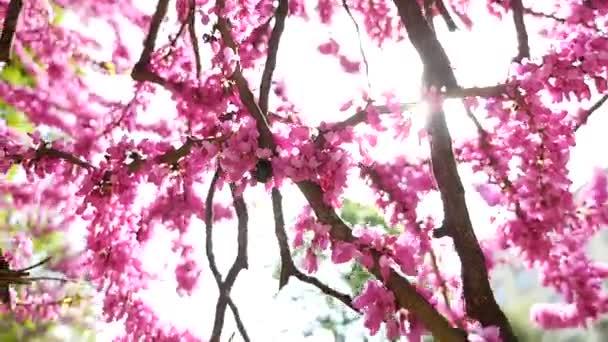 Růžové květy, kvete na jaře. Velké panoramatické scény z kvetoucí růžové strom pozadí zelené listy. Středně nízký úhel mělká Hloubka pole posuvníku zastřelil