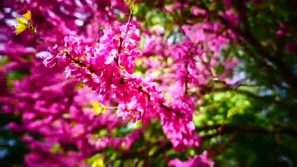 Flores de color rosa que florece en primavera. Árbol de gran escena ...