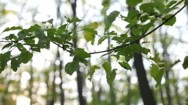 Branches with fresh green leaves moving against blurred forest trees background, Wind blowing vibrant leaves on tree brach