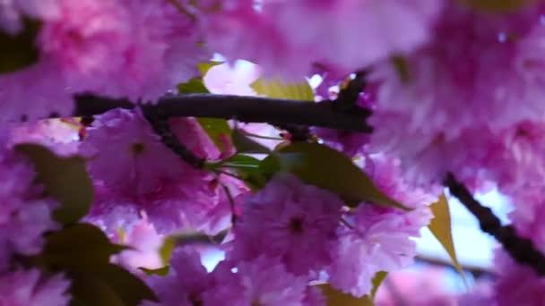 Sakura tavaszi virágok. Tavaszi virág háttér. Gyönyörű természeti táj virágzó Sakura fa felett hegyek és a napsütés fáklyát. Japán kert. Napsütéses napon. Absztrakt elmosódott háttér