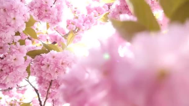 Sakura spring flowers. Spring blossom background. Beautiful nature scene with blooming sakura tree over mountains and sun flare. Japanese garden. Sunny day. Abstract blurred background