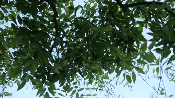Fresh green leaves. Looking up at green leaves in the city.
