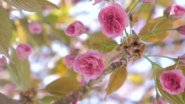 Sakura jarní květiny