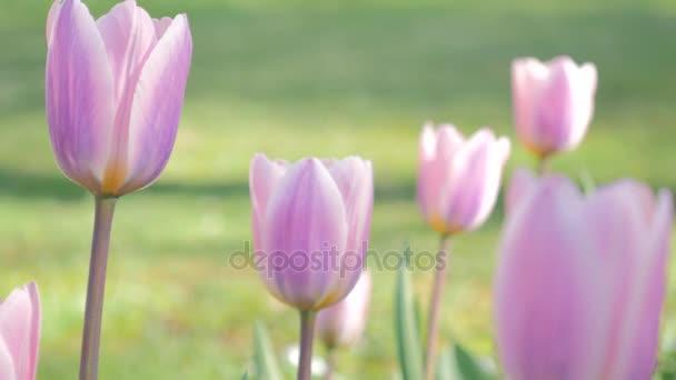 Tulipán virágok tavasszal virágzó