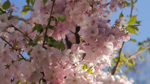 rosa Blüten blühen im Frühling.
