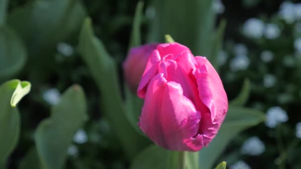 Tulip flowers blooming in Spring.