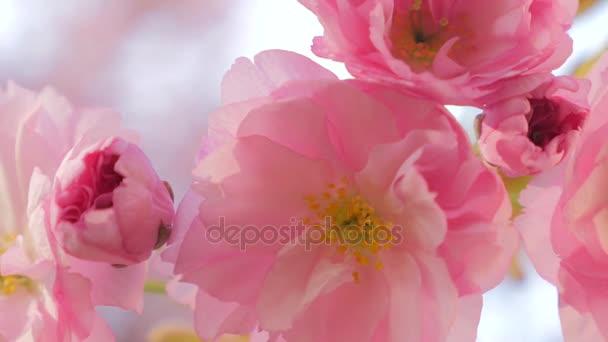 Sakura jarní květiny. Jarní květ pozadí