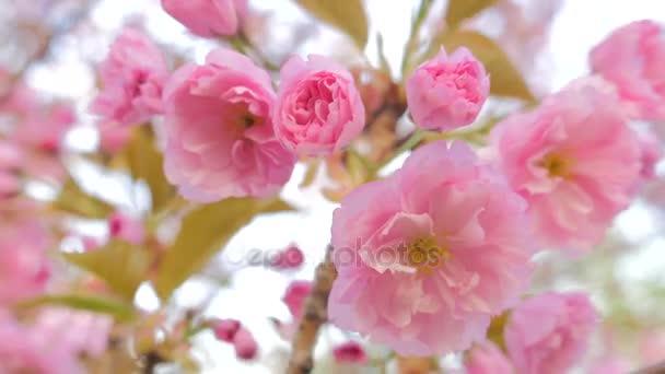 Sakura spring flowers. Spring blossom background