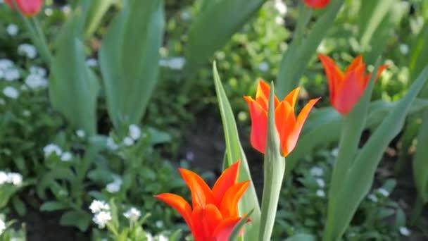 Tulip květiny kvetoucí na jaře