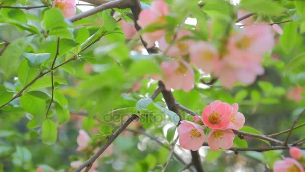 Rózsaszín virágok tavasszal virágzó